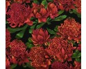 Red Waratah on Black Australian