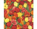 Beautiful Red and yellow tulips tulip flowers